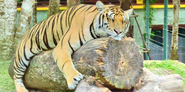 Tiger Kingdom Best Places to Visit in Phuket